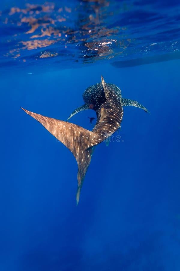 Undervattens- slut upp av valhajen (Rhincodontypusen) royaltyfri bild