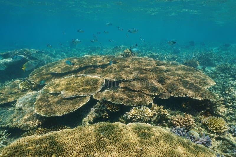 Undervattens- tabellkorall för rev och fiskStilla havet royaltyfria foton