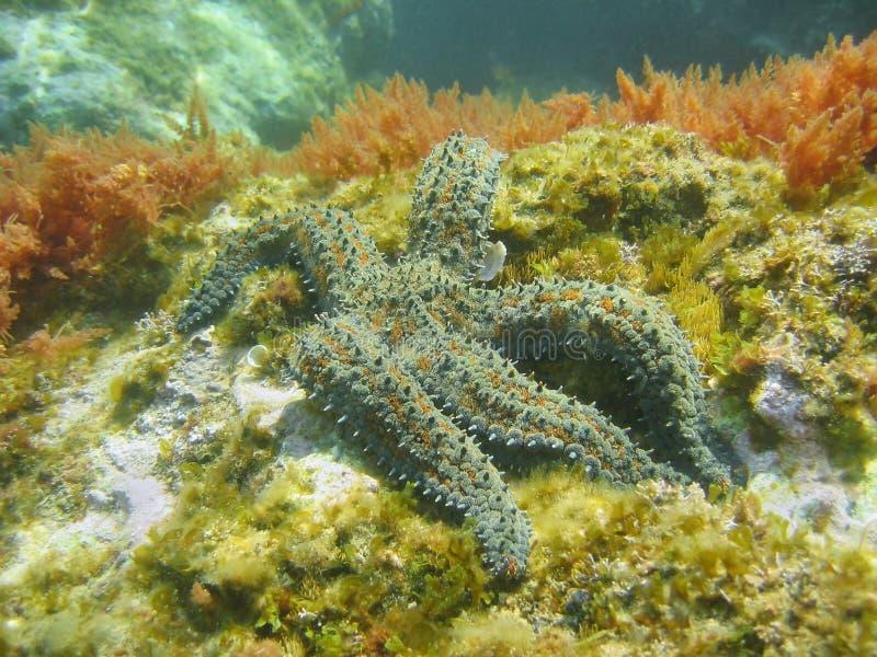Undervattens- taggig sjöstjärna för Marthasterias glacialis arkivbild
