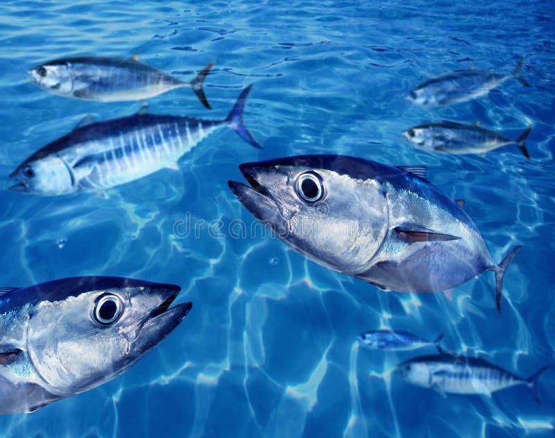 undervattens- tonfisk för bluefinfiskskola royaltyfria bilder