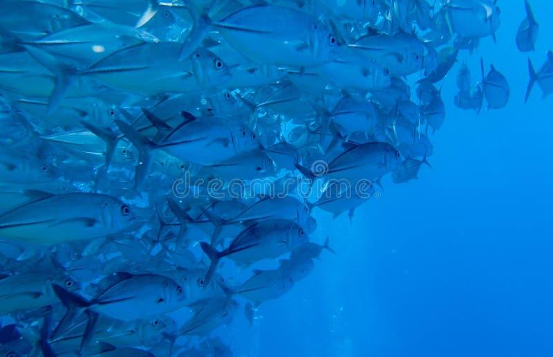 Undervattens- vägg av tonfisk royaltyfri bild