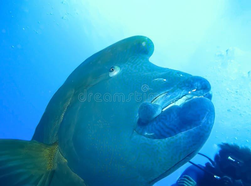 Undervattens- värld i djupt vatten i flora för korallrev och växtnaturi marin- djurliv för blå värld, havhavsdyk Fisk Napoleon fotografering för bildbyråer