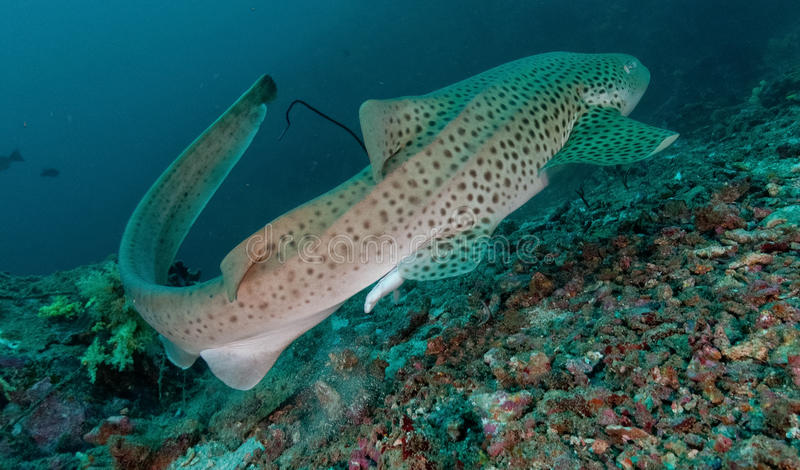undervattens- val för haj arkivbilder