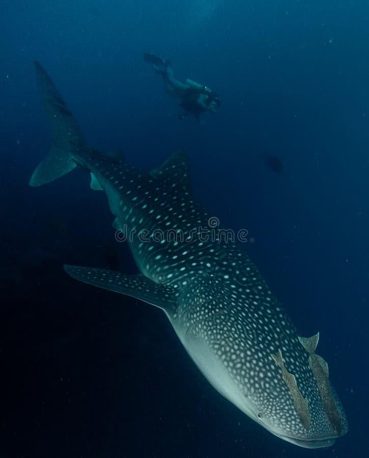 undervattens- val för haj royaltyfri bild