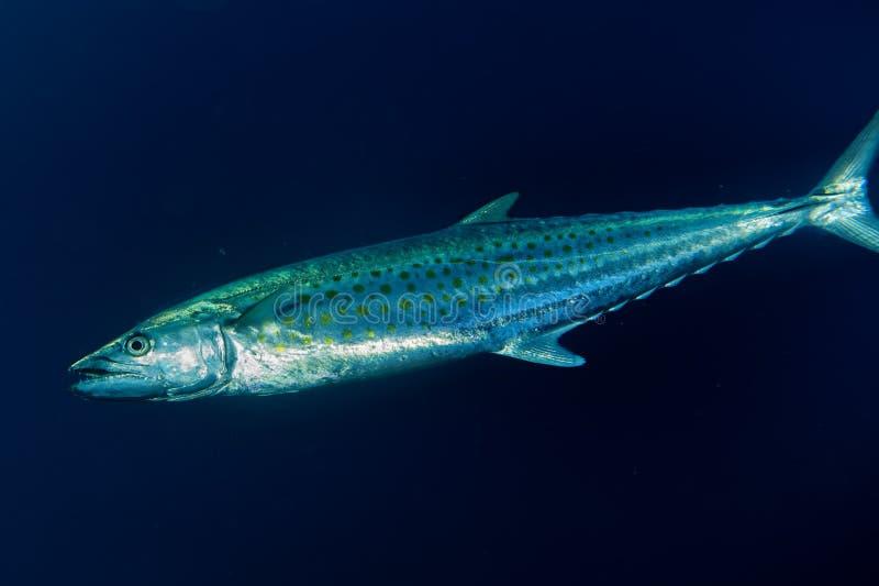 Undervattens- Yelllowfin tonfisk arkivbilder
