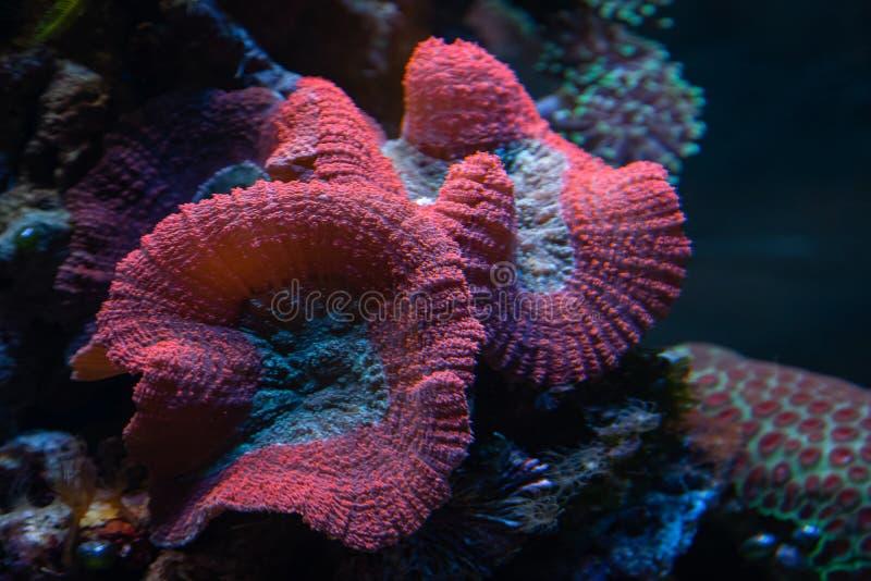 Undervattensskott av den rosa svampkorallen Fungiidae koloni på revet i akvariettanken Färgkoraller som växer på havet royaltyfri fotografi