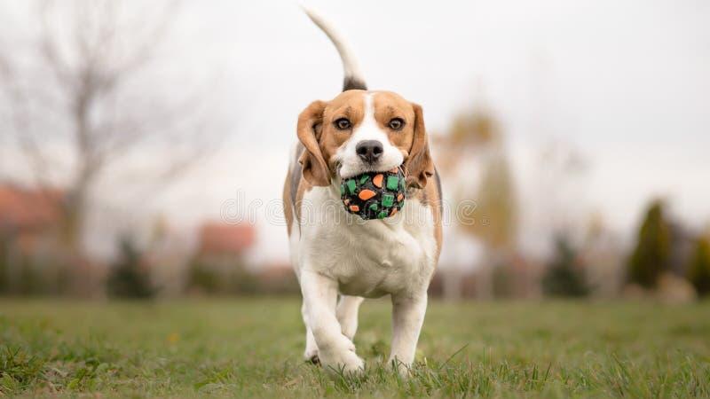 Undervisa din hund att spela Fetch arkivbild