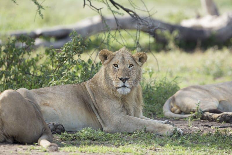 Undervuxen människa, Male afrikansk Lion (pantheraen leo) Tanzania royaltyfri foto