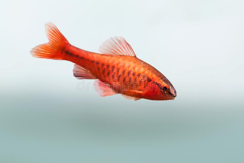 Underwater aquarium still life scene. Red color tropical fish Barb Puntius titteya swim on soft blue background. Shallow stock photography