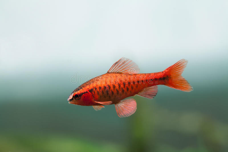 Underwater aquarium still life scene. Red color tropical fish Barb Puntius titteya swim on soft blue green background royalty free stock photos