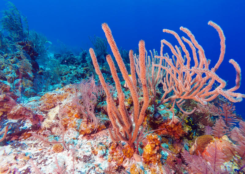 Underwater background with soft and hard corals, Cayo Largo royalty free stock photography