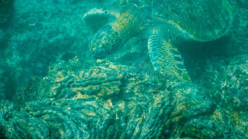 Underwater close up of a green sea turtle feeding at isla santiago stock photos