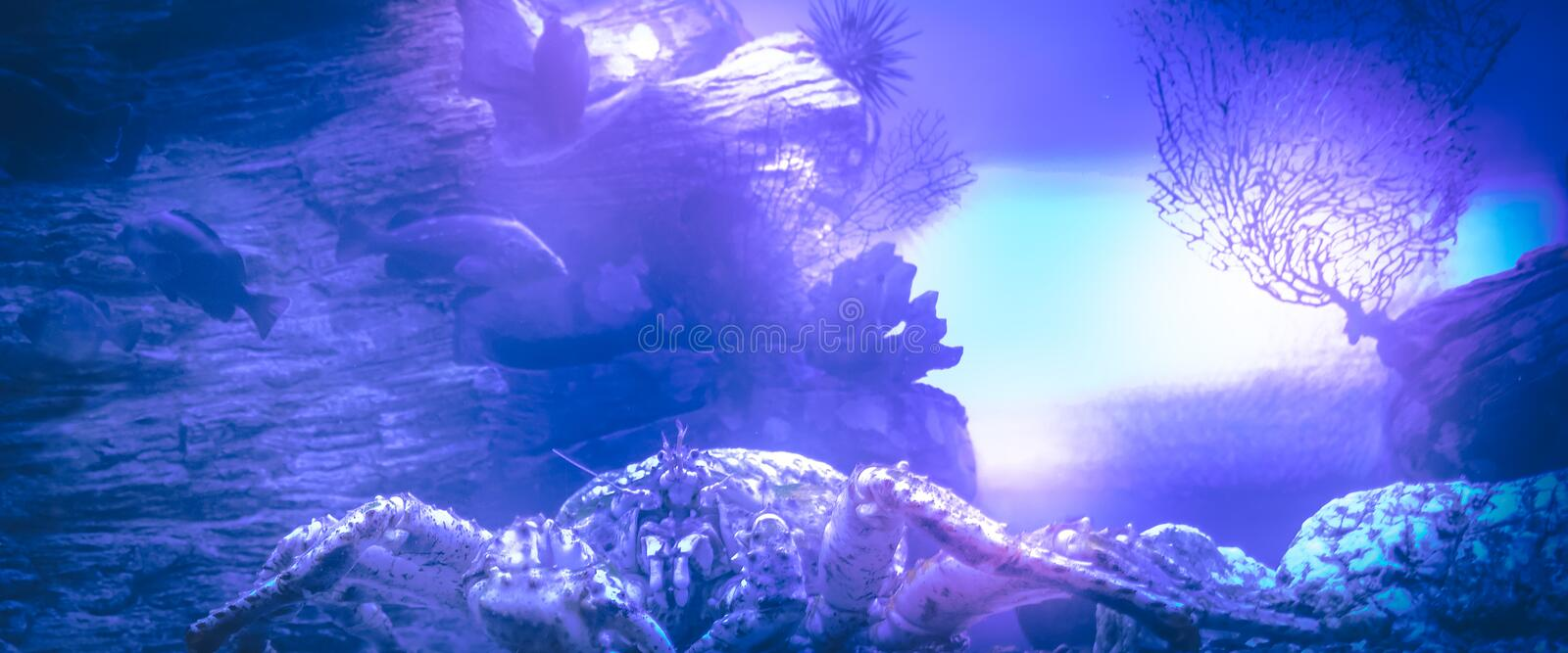 Underwater coral reef crab blue lilac purple marine background royalty free stock photography