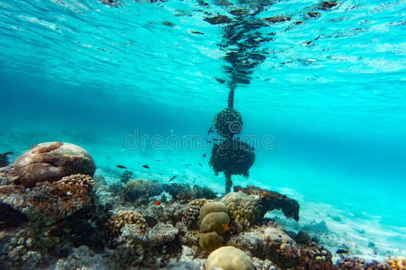 Underwater coral reef and fish in Indian Ocean, Maldives. royalty free stock photo
