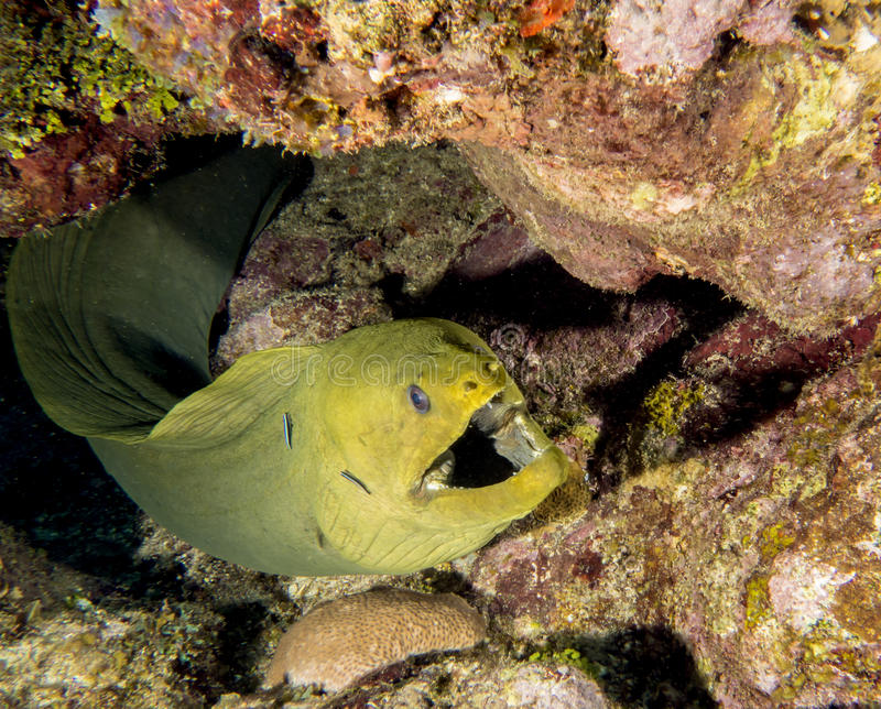 Underwater coral reef Green moray eel royalty free stock photo