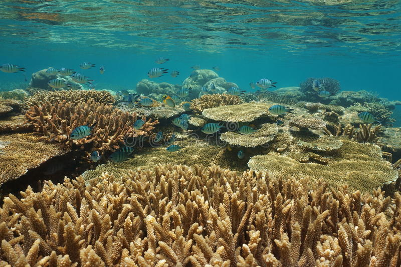 Underwater coral reef healthy condition Oceania. Underwater coral reef with fish in healthy condition in shallow water, south Pacific ocean, New Caledonia stock images