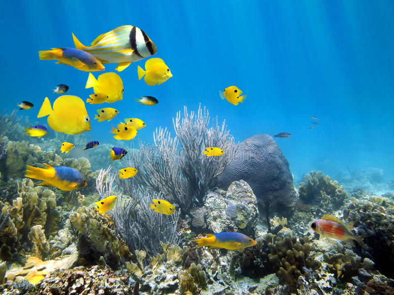 Underwater coral reef with school of fish. Underwater coral reef scenery with colorful school of fish