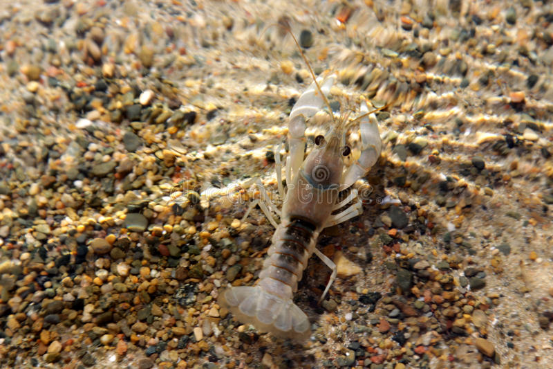Crayfish | The Canadian Encyclopedia  |Common Crayfish