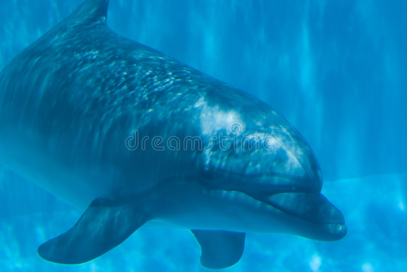 Underwater Dolphin royalty free stock image