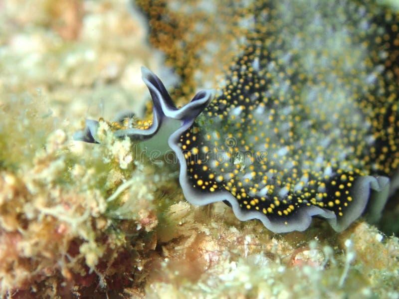 Underwater flatworm Acanthozoon sp during a leisure dive in Tunku Abdul Rahman Park, Kota Kinabalu. Sabah, Malaysia. Borneo. Closeup and macro shot of stock images