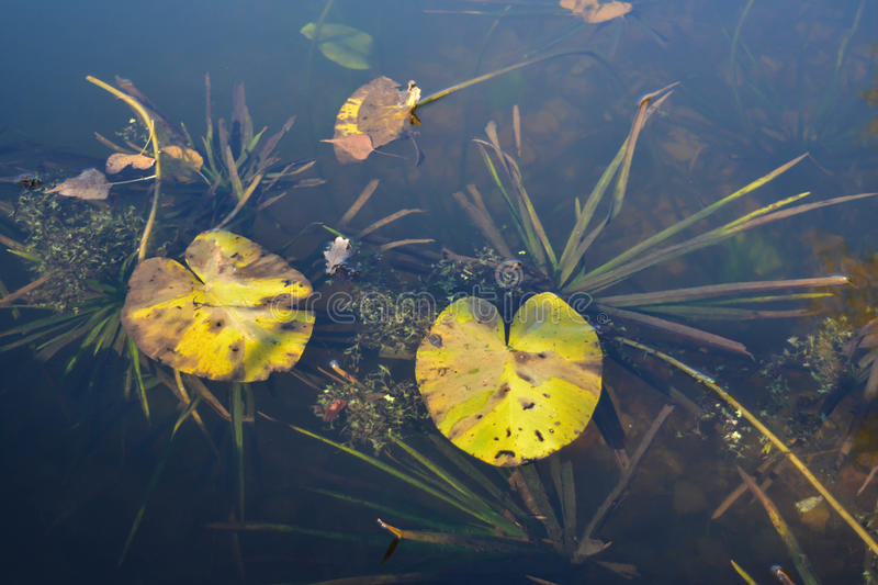 Underwater flora and fauna. Lily, grass, algae. stock photography