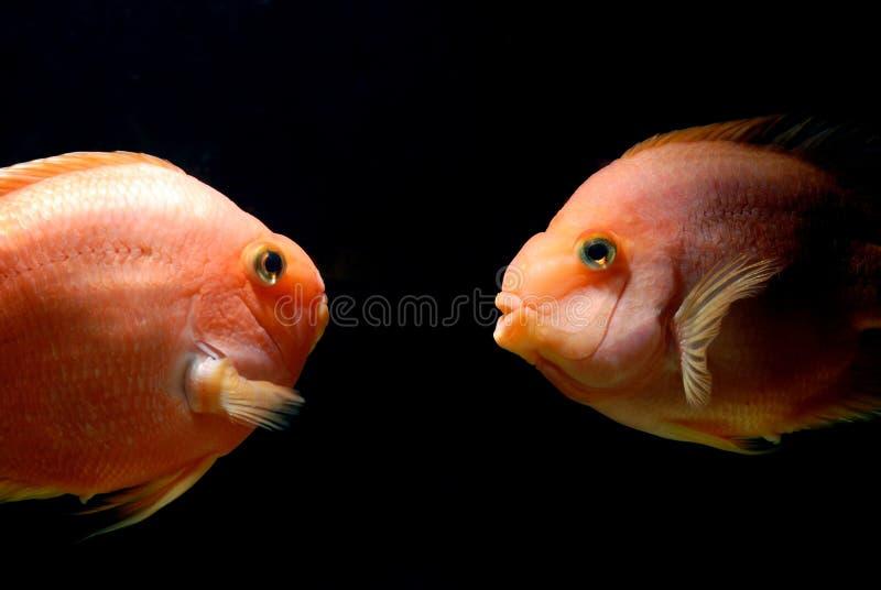 Download Underwater goldfish stock image. Image of nature, goldfish - 16537393