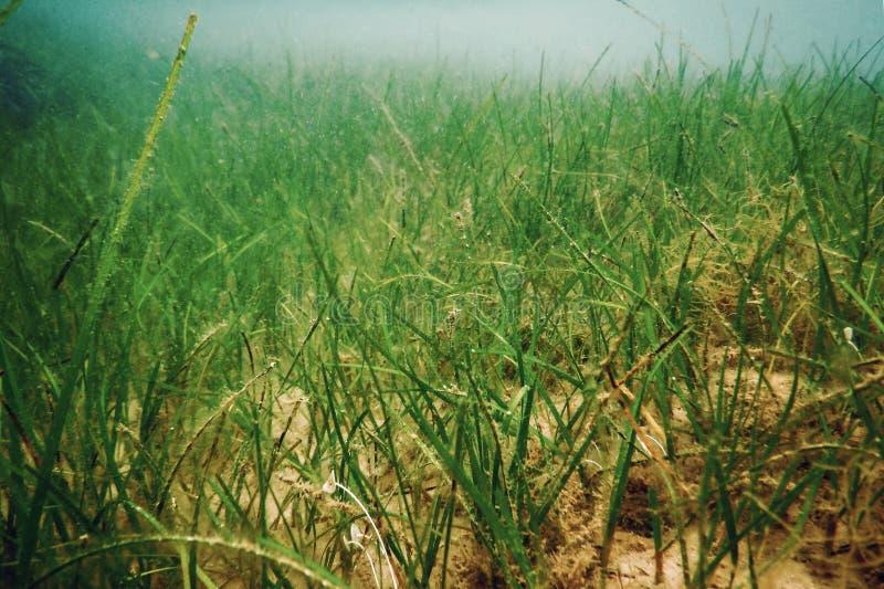 Underwater Green Sea Grass, Sea Grass Underwater. Underwater stock images
