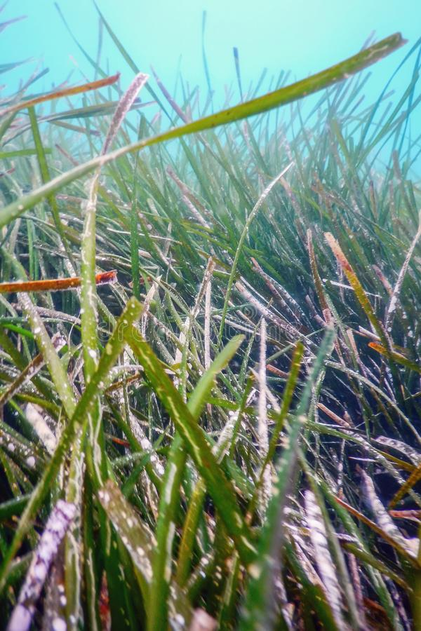 Underwater Green Sea Grass, Sea Grass Underwater. Underwater royalty free stock images