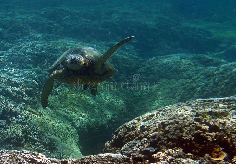 Download Underwater Green Sea Turtle Stock Photo - Image: 12702