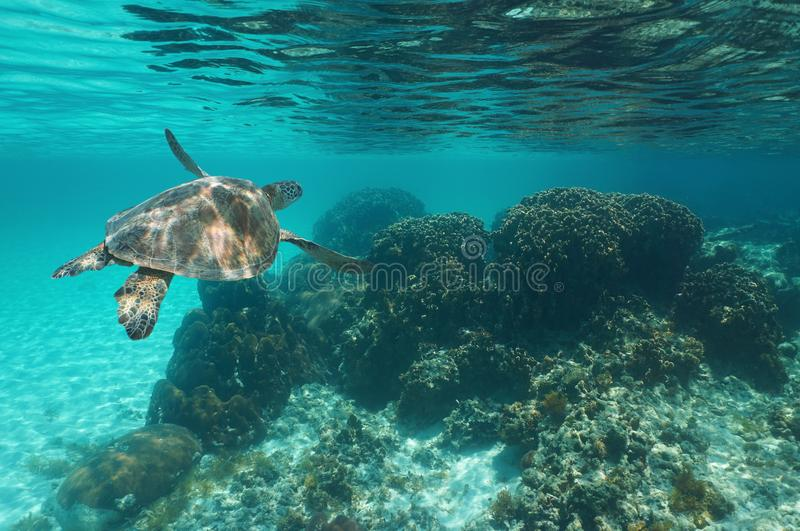 A green sea turtle Chelonia mydas Caribbean sea. Underwater a green sea turtle Chelonia mydas over a coral reef, Caribbean sea royalty free stock images