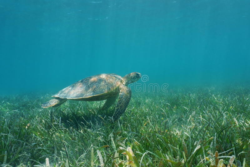 Underwater green sea turtle over grassy seabed. Underwater green sea turtle swims over grassy seabed, south Pacific ocean, lagoon of Grand Terre island in New royalty free stock photography