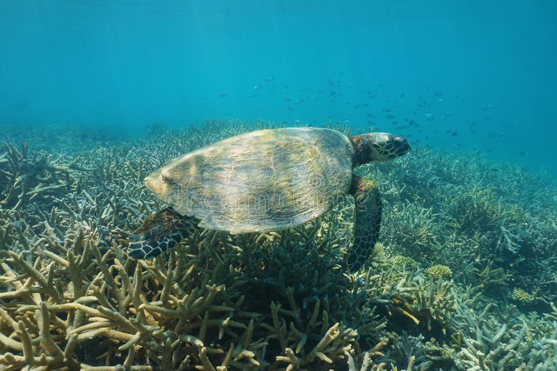 Underwater a hawksbill sea turtle over coral reef stock photography