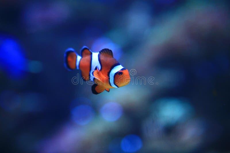 Underwater Image of Clownfish royalty free stock image