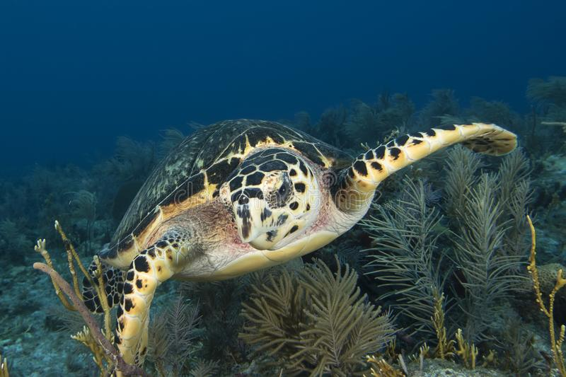 Underwater image of green sea turtle. Chelonia mydas, in Key Largo, Florida Keys royalty free stock images