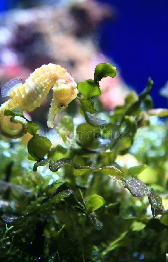Underwater Image of a Sea Horse Resting stock photography