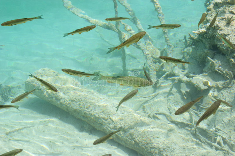 Underwater image of trout fish stock image