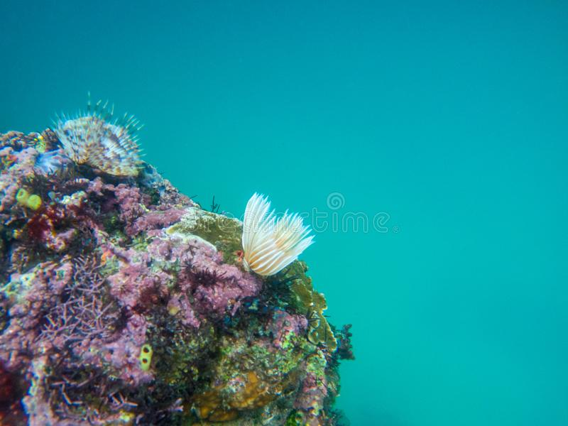 Underwater landscape with coral wall and deep blue sea water. White worm on underwater stone. Corals on cliff undersea stock photography
