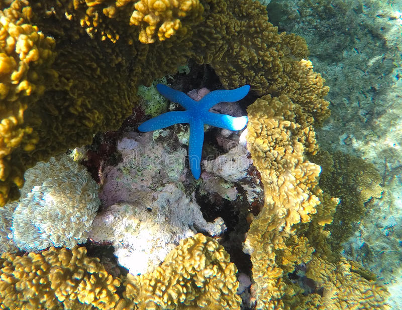 Underwater landscape with star fish. Blue starfish in grey corals. royalty free stock images
