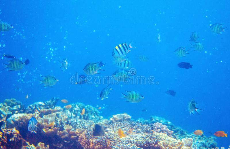 Underwater landscape with tropical fish and coral reef. Yellow black striped dascillus. Tropical aquarium background royalty free stock images