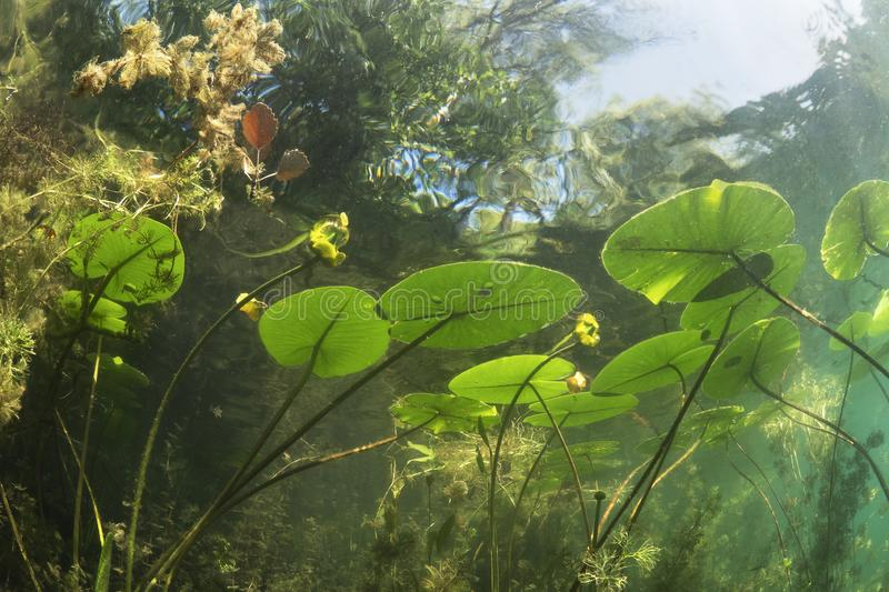 Underwater landscape Water lily nuphar lutea stock photos