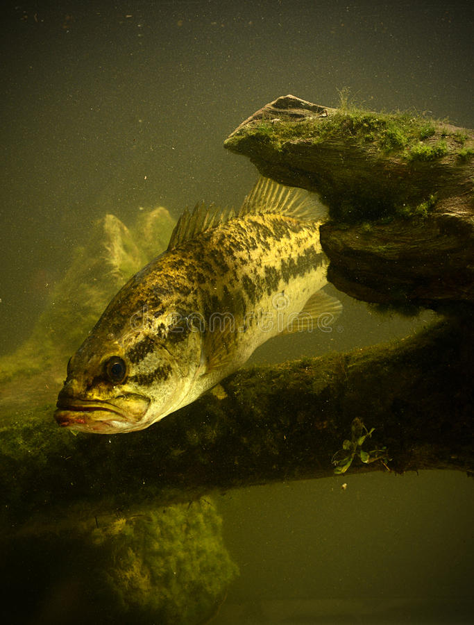 Underwater largemouth bass fish. A large mouth bass fish underwater royalty free stock images