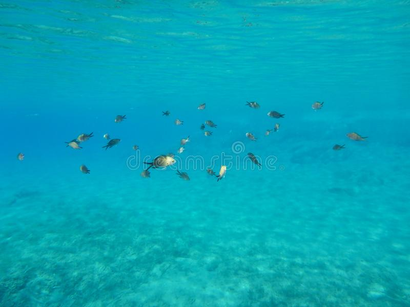 Underwater life kalogries, damselfish or Mediterranean Chromis in Kolona double bay Kythnos island Cyclades Greece, Aegean sea. Horizontal royalty free stock photos