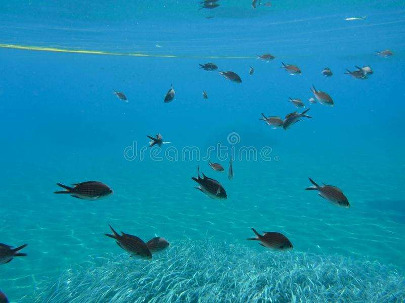 Underwater life kalogries, damselfish or Mediterranean Chromis in Kolona double bay Kythnos island Cyclades Greece, Aegean sea. Horizontal royalty free stock images