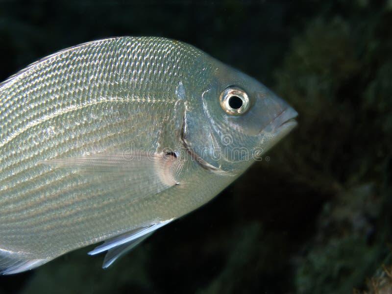 Underwater Life - Sea.Bream. An underwater macro photo of a sea-bream fish. Photo was token in the mediterranean sea stock photos