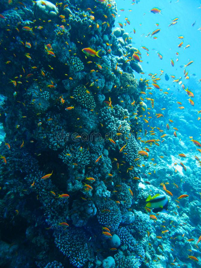 Underwater marine life in Red Sea with colored fish, Egypt, Dahab. stock photography