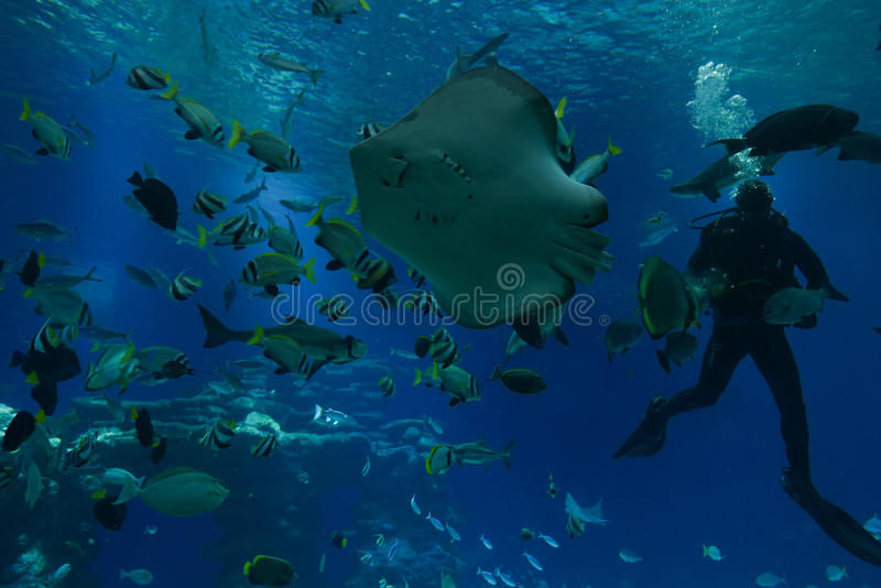 Underwater Observatory aquarium feeding fish. EILAT, ISR - NOVEMBER 2016: diver feeding fish in the Shark Pool of Coral World Underwater Observatory aquarium in royalty free stock photos