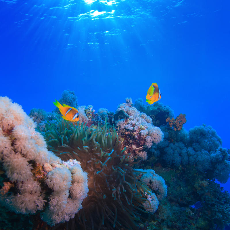 Download Underwater Photo Coral Garden With Anemone Of Yellow Clownfish Stock Photo - Image: 28260238