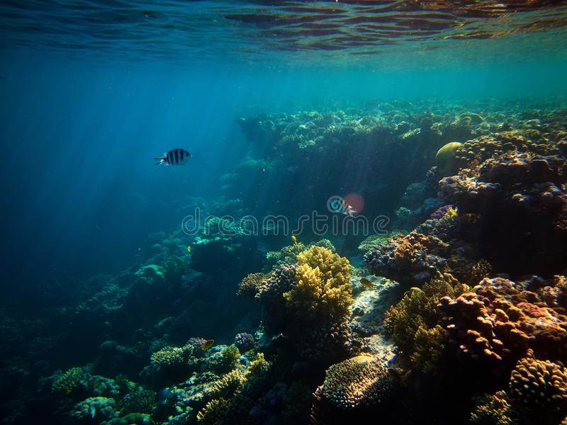 Underwater photo of coral reefs and few Sergeant major fishes in red sea royalty free stock images