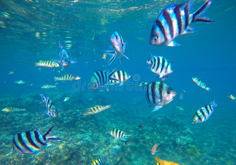 Underwater photo with dascillus tropical fish in blue water. Exotic lagoon with ocean life. stock photography