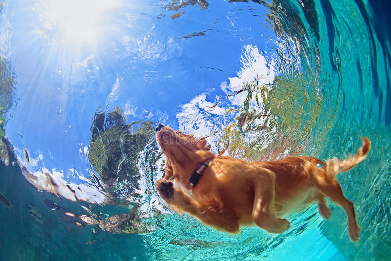 Underwater photo of dog swimming in outdoor pool. Underwater photo of golden labrador retriever puppy in outdoor swimming pool play with fun - jumping and diving stock image